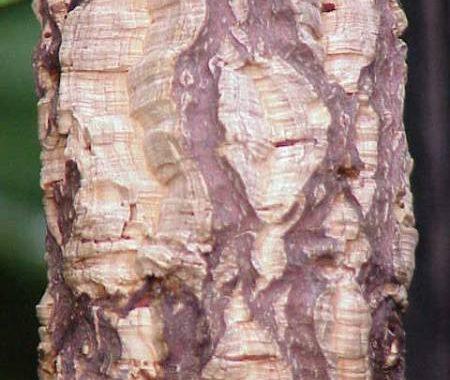 Quercus_suber1