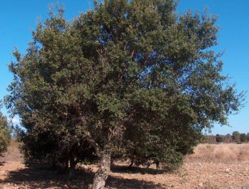 Quercus_suber_g1